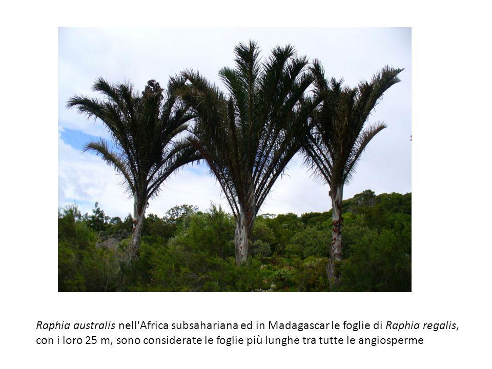 Raphia australis nell'Africa subsahariana ed in Madagascar le foglie di Raphia regalis, con i loro 25 m, sono considerate le foglie più lunghe tra tut