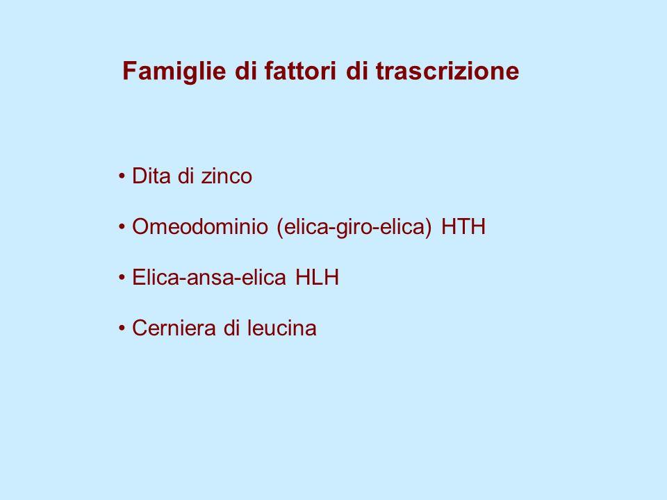 Famiglie di fattori di trascrizione Dita di zinco Omeodominio (elica-giro-elica) HTH Elica-ansa-elica HLH Cerniera di leucina
