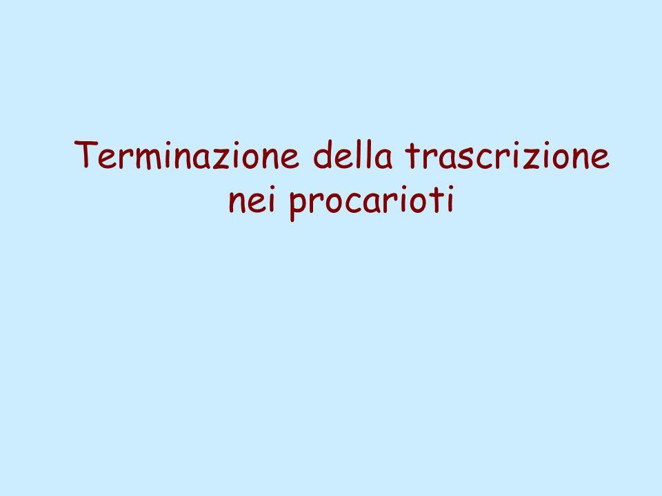 Terminazione della trascrizione nei procarioti