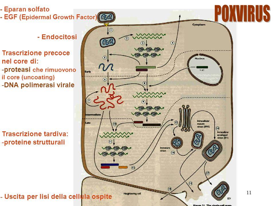 11 - Eparan solfato - EGF (E pidermal G rowth F actor ) - Endocitosi Trascrizione precoce nel core di: -proteasi che rimuovono il core (uncoating) -DNA polimerasi virale - Uscita per lisi della cellula ospite Trascrizione tardiva: -proteine strutturali