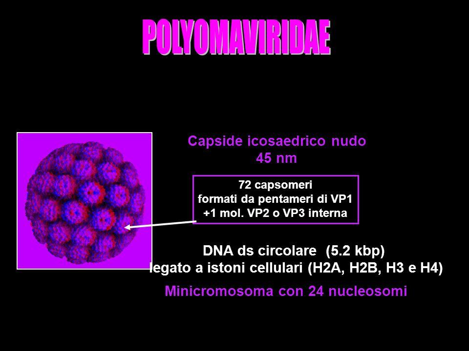 13 Capside icosaedrico nudo 45 nm 72 capsomeri formati da pentameri di VP1 +1 mol.