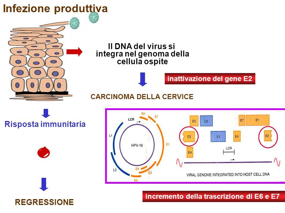 17 Risposta immunitaria Infezione produttiva REGRESSIONE Il DNA del virus si integra nel genoma della cellula ospite CARCINOMA DELLA CERVICE incremento della trascrizione di E6 e E7 inattivazione del gene E2
