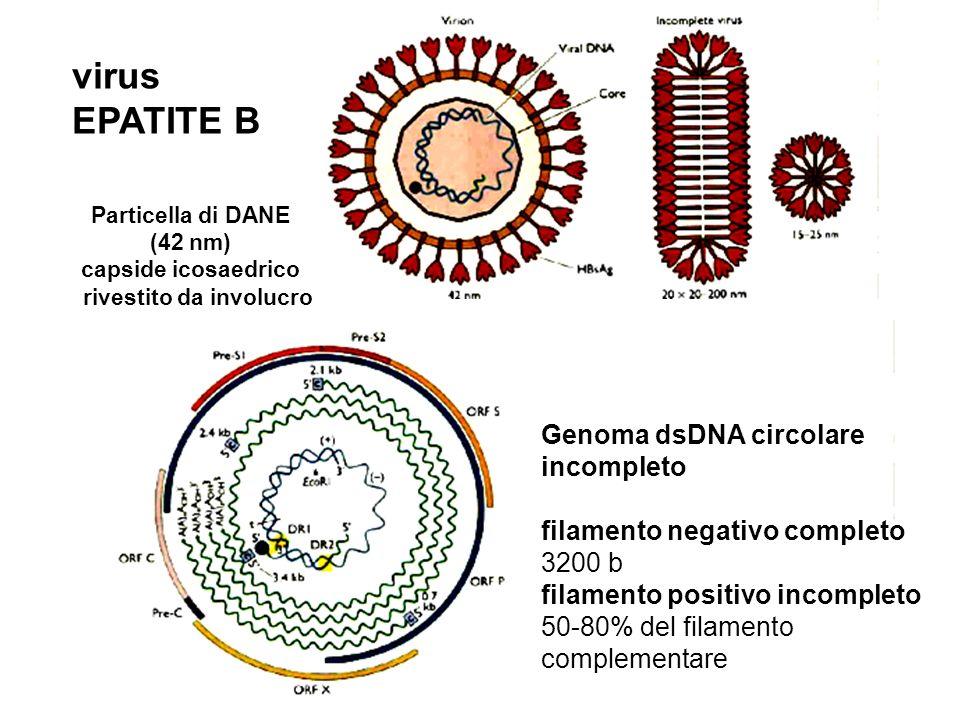 19 Genoma dsDNA circolare incompleto filamento negativo completo 3200 b filamento positivo incompleto 50-80% del filamento complementare virus EPATITE B Particella di DANE (42 nm) capside icosaedrico rivestito da involucro