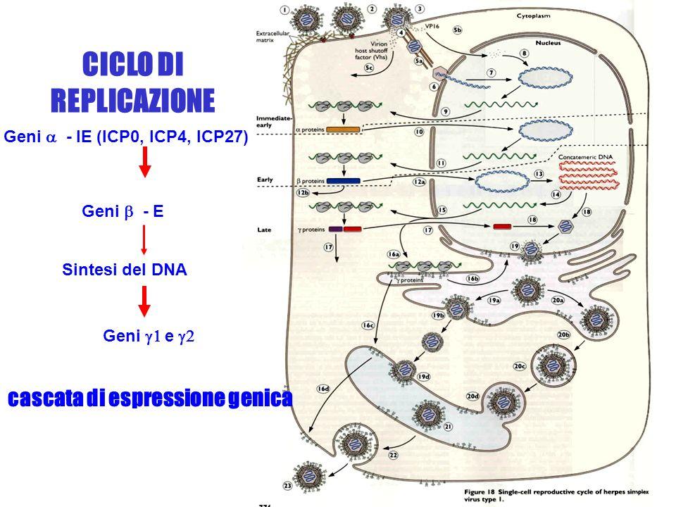 4 La replicazione del DNA virale avviene nel nucleo per circolarizzazione e sintesi tramite cerchio rotante Lassemblaggio della particella virale avviene nel nucleo e lacquisizione del tegumento esterno avviene per gemmazione sulla membrana nucleare proteine beta