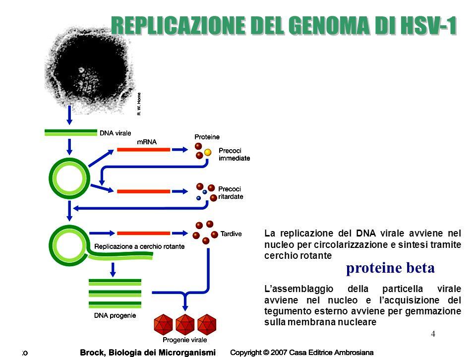 15 L1 L2 DNA ds circolare (8000 bp) legato a istoni cellulari Capside icosaedrico nudo (55 nm) L1,L2 Specie-specifici Tropismo per cellule dellepitelio squamoso