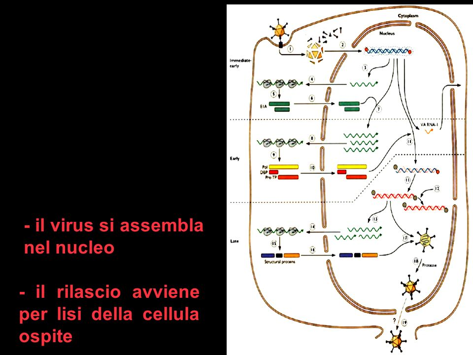 8 - il rilascio avviene per lisi della cellula ospite - il virus si assembla nel nucleo