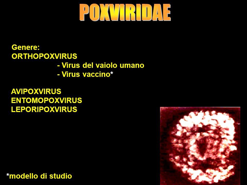9 Genere: ORTHOPOXVIRUS - Virus del vaiolo umano - Virus vaccino* AVIPOXVIRUS ENTOMOPOXVIRUS LEPORIPOXVIRUS *modello di studio