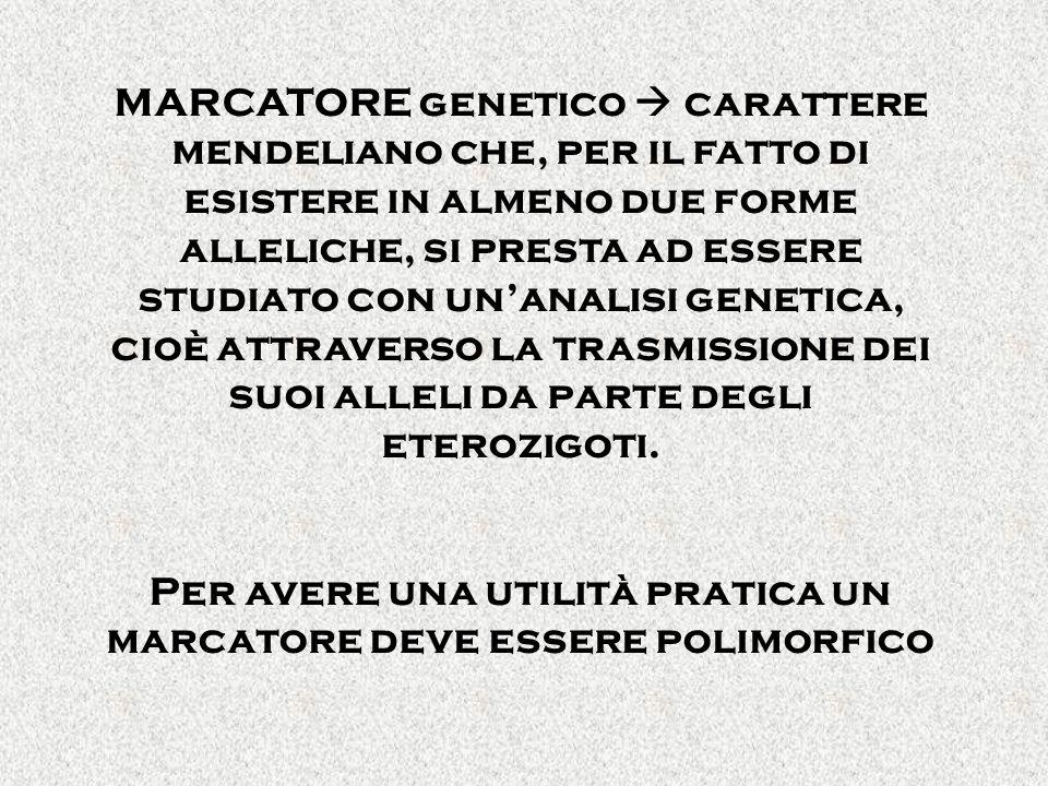 MARCATORE genetico carattere mendeliano che, per il fatto di esistere in almeno due forme alleliche, si presta ad essere studiato con unanalisi geneti