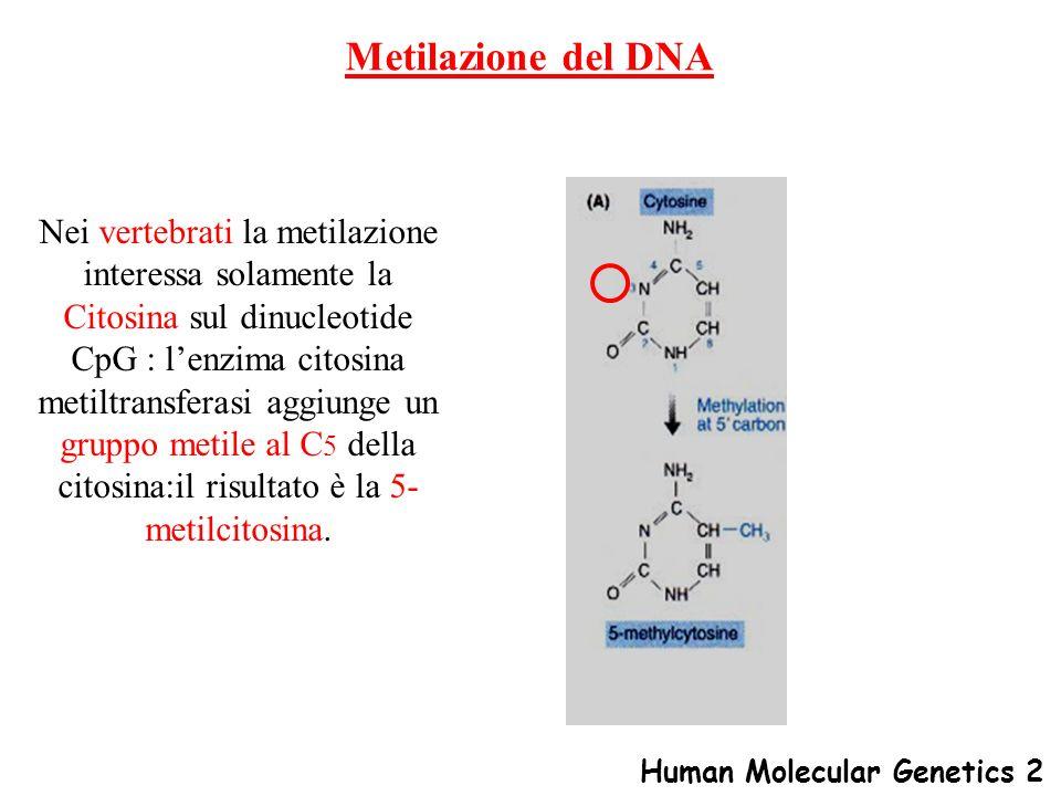 Metilazione del DNA Nei vertebrati la metilazione interessa solamente la Citosina sul dinucleotide CpG : lenzima citosina metiltransferasi aggiunge un
