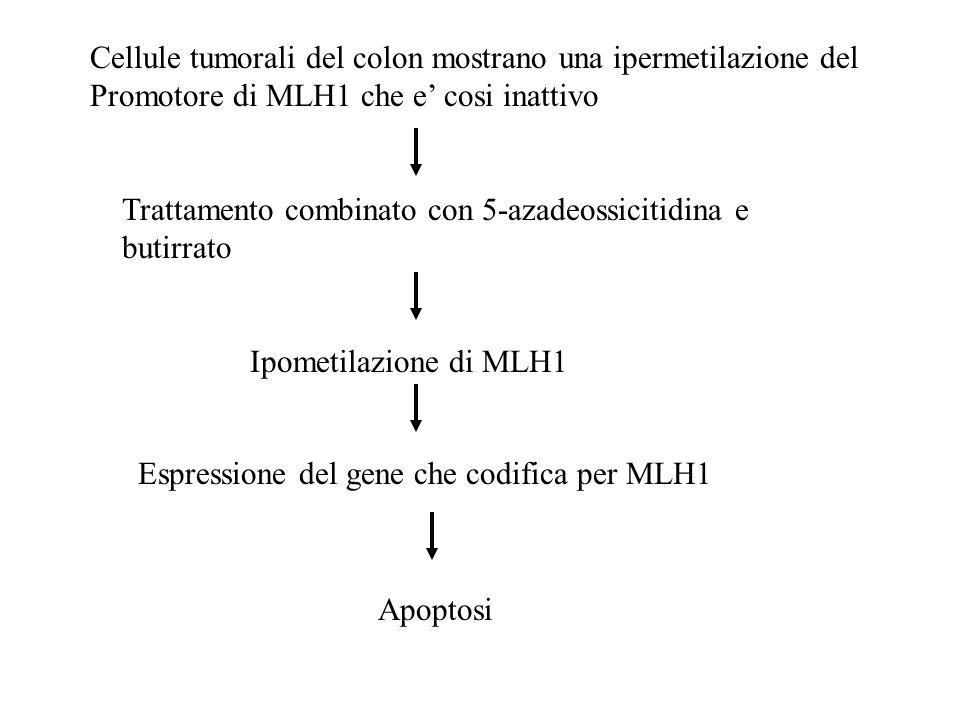 Cellule tumorali del colon mostrano una ipermetilazione del Promotore di MLH1 che e cosi inattivo Trattamento combinato con 5-azadeossicitidina e buti