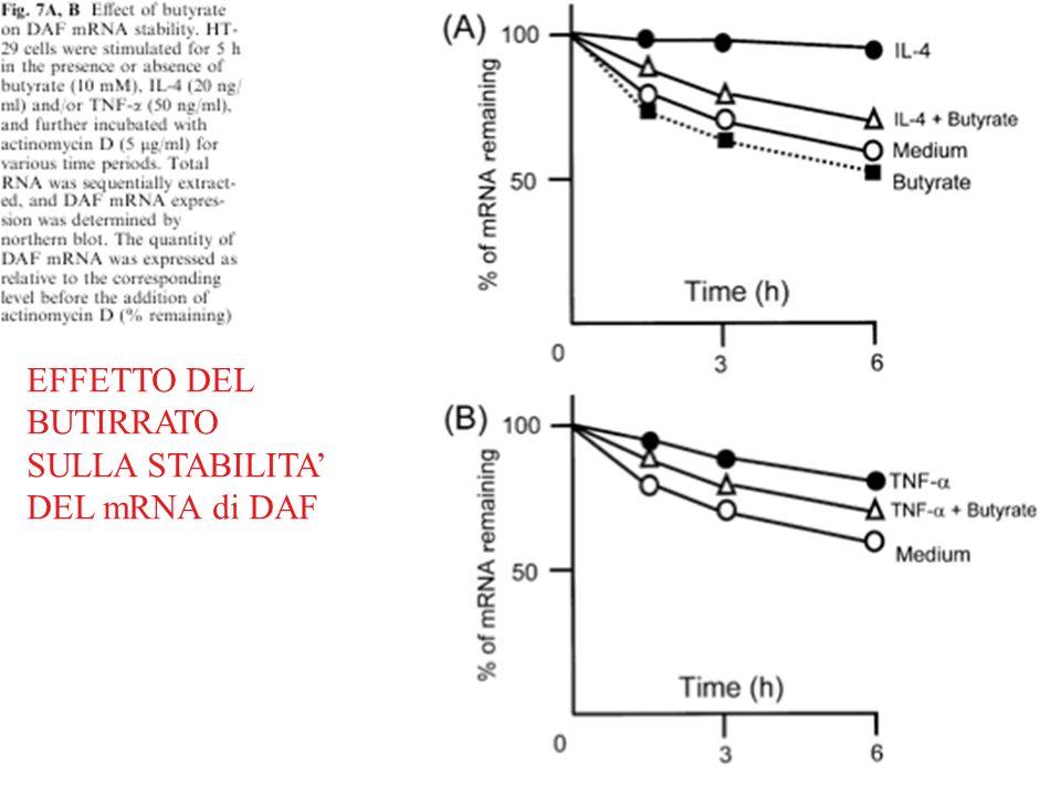 EFFETTO DEL BUTIRRATO SULLA STABILITA DEL mRNA di DAF