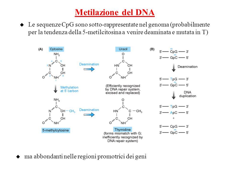 Metilazione del DNA u Le sequenze CpG sono sotto-rappresentate nel genoma (probabilmente per la tendenza della 5-metilcitosina a venire deaminata e mu