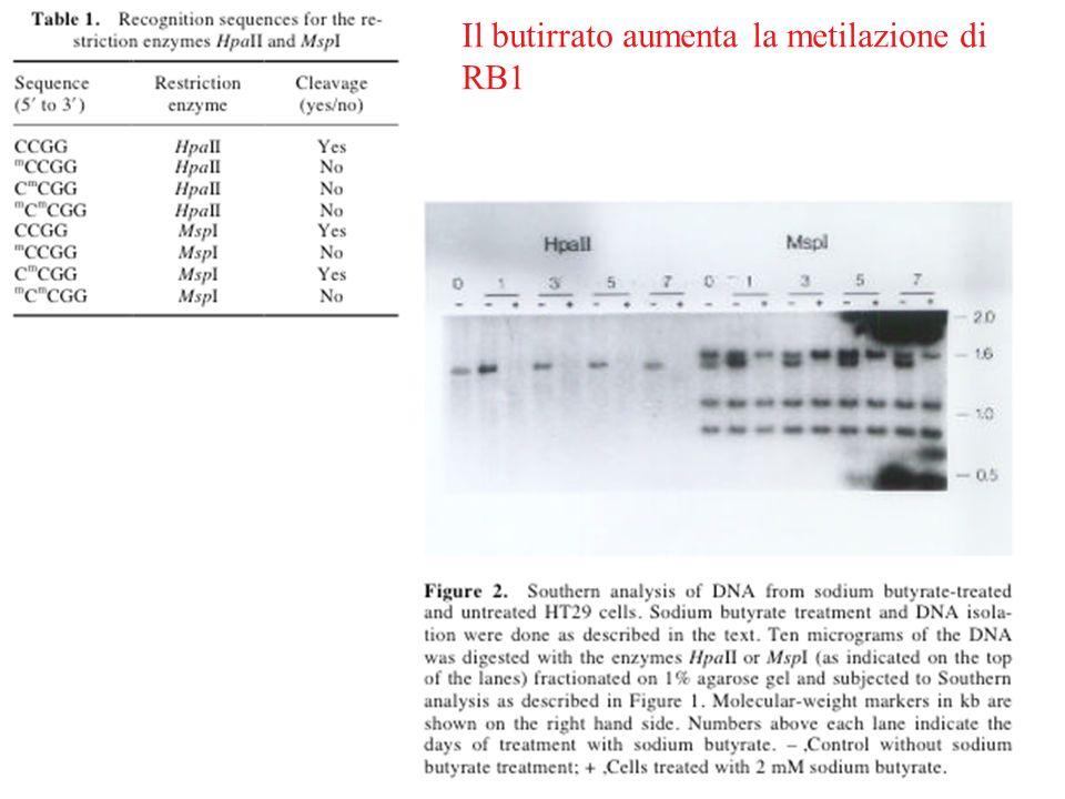 Il butirrato aumenta la metilazione di RB1