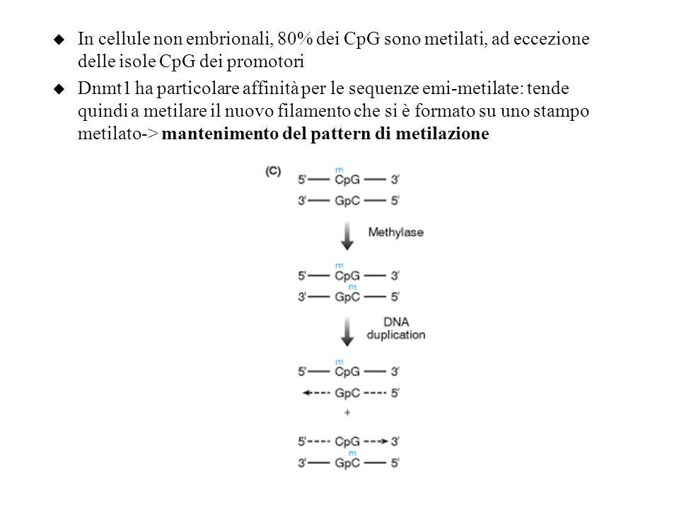 u In cellule non embrionali, 80% dei CpG sono metilati, ad eccezione delle isole CpG dei promotori u Dnmt1 ha particolare affinità per le sequenze emi