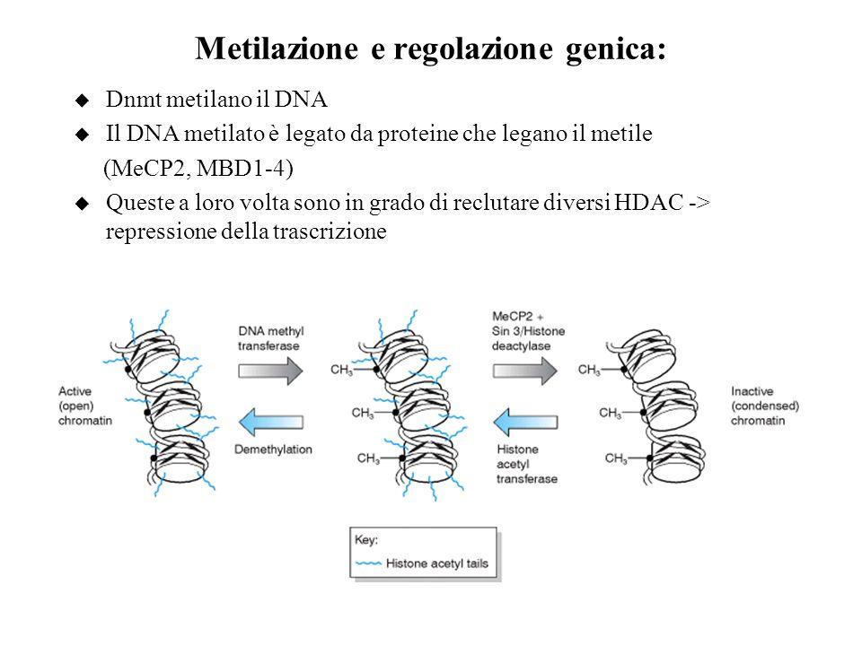 Metilazione e regolazione genica: u Dnmt metilano il DNA u Il DNA metilato è legato da proteine che legano il metile (MeCP2, MBD1-4) u Queste a loro v