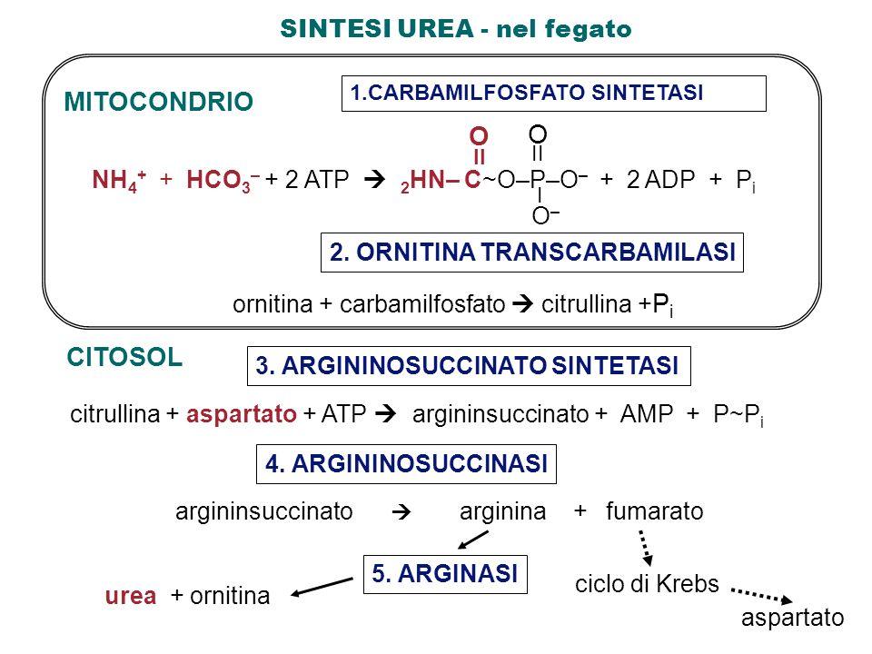 SINTESI UREA - nel fegato CITOSOL citrullina + aspartato + ATP argininsuccinato + AMP + P~P i 3. ARGININOSUCCINATO SINTETASI 4. ARGININOSUCCINASI 1.CA