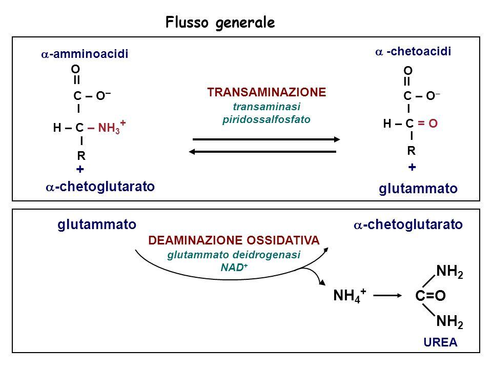 Flusso generale NH 4 + UREA NH 2 C=O NH 2 DEAMINAZIONE OSSIDATIVA glutammato deidrogenasi NAD + glutammato -chetoglutarato -amminoacidi O II C – O – I