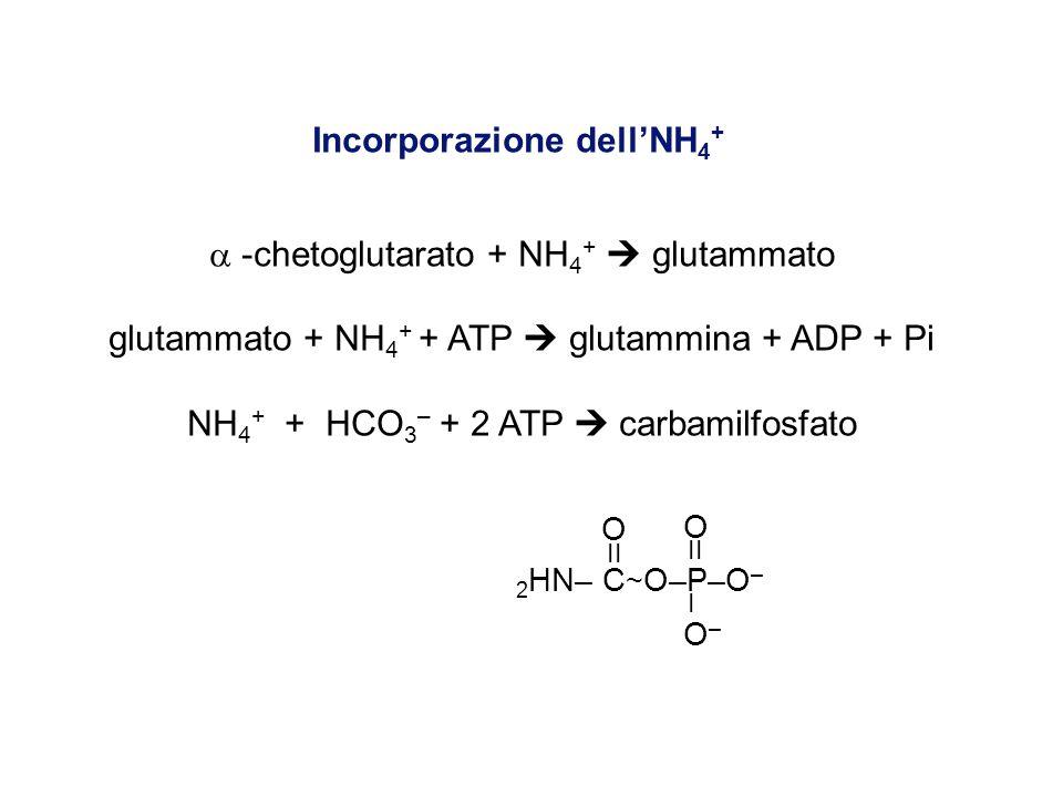 Incorporazione dellNH 4 + -chetoglutarato + NH 4 + glutammato glutammato + NH 4 + + ATP glutammina + ADP + Pi NH 4 + + HCO 3 – + 2 ATP carbamilfosfato O O II I O – 2 HN– C ~ O–P–O –