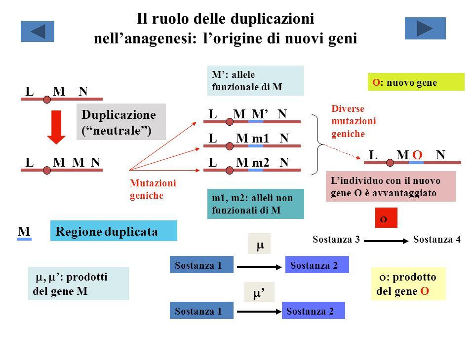 Il ruolo delle duplicazioni nellanagenesi: lorigine di nuovi geni L M N L M M N Duplicazione (neutrale) Regione duplicataM L M M N L M m2 N L M m1 N L