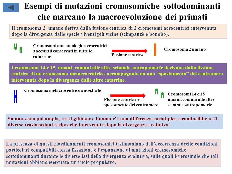 Esempi di mutazioni cromosomiche sottodominanti che marcano la macroevoluzione dei primati Su una scala più ampia, tra il gibbone e luomo cè una diffe