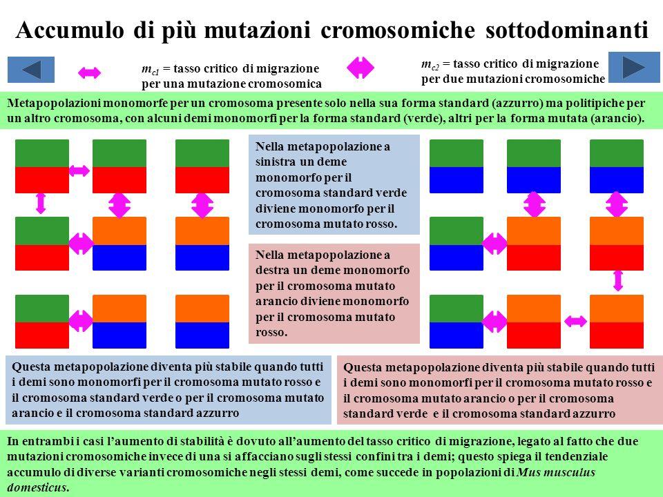 Accumulo di più mutazioni cromosomiche sottodominanti Metapopolazioni monomorfe per un cromosoma presente solo nella sua forma standard (azzurro) ma p