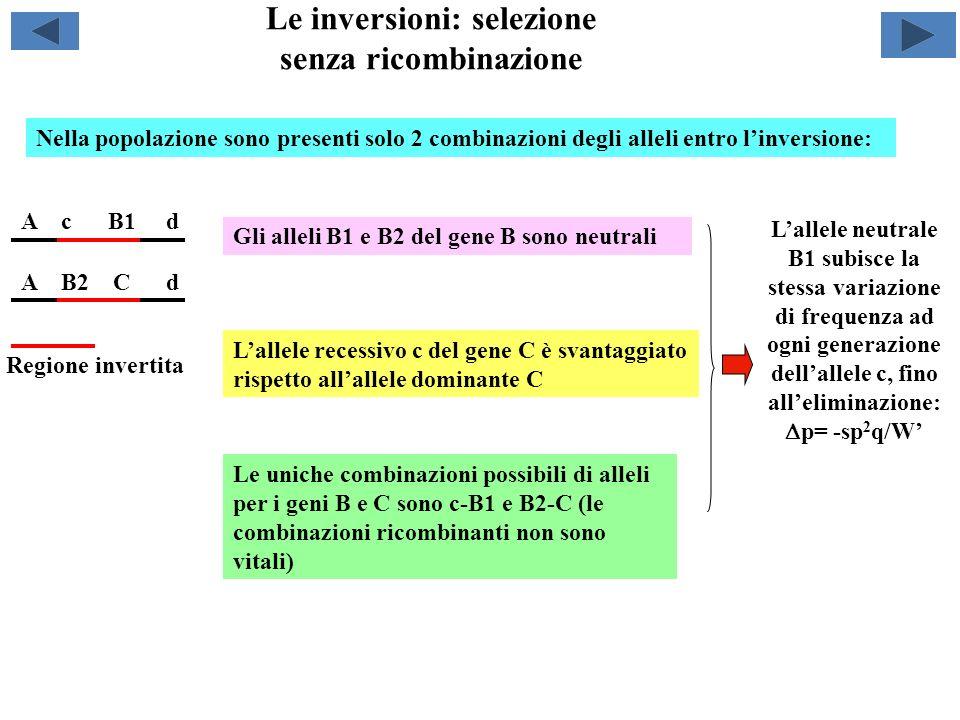 Le inversioni: selezione senza ricombinazione A c B1 d A B2 C d Lallele neutrale B1 subisce la stessa variazione di frequenza ad ogni generazione dell