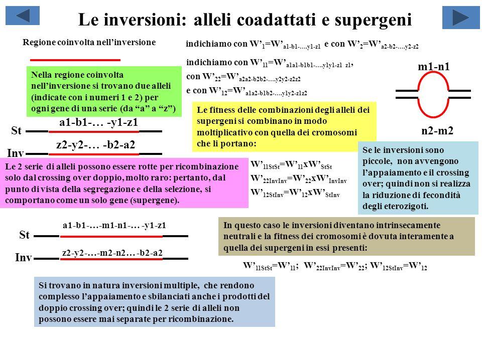 Le inversioni: alleli coadattati e supergeni a1-b1-… -y1-z1 Regione coinvolta nellinversione z2-y2-… -b2-a2 Nella regione coinvolta nellinversione si