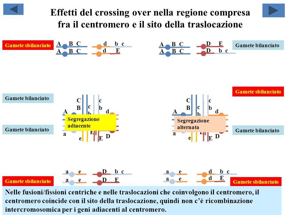 Effetti del crossing over nella regione compresa fra il centromero e il sito della traslocazione EE cbcb cbcb CBCB A E D cbcb d CBCB A cbcb d e a e a