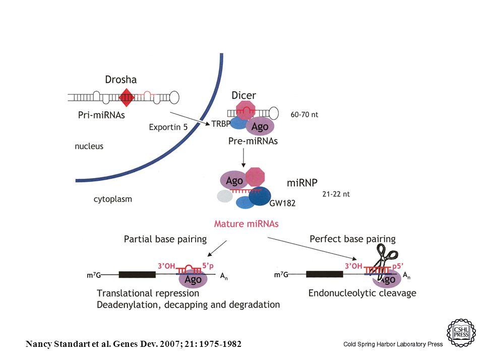 Nancy Standart et al. Genes Dev. 2007; 21: 1975-1982