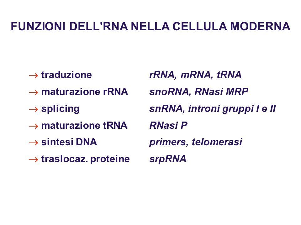 FUNZIONI DELL'RNA NELLA CELLULA MODERNA traduzione rRNA, mRNA, tRNA maturazione rRNAsnoRNA, RNasi MRP splicing snRNA, introni gruppi I e II maturazion