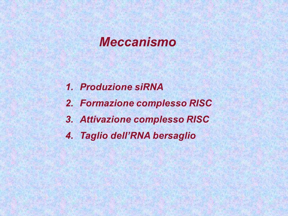 Meccanismo 1.Produzione siRNA 2.Formazione complesso RISC 3.Attivazione complesso RISC 4.Taglio dellRNA bersaglio