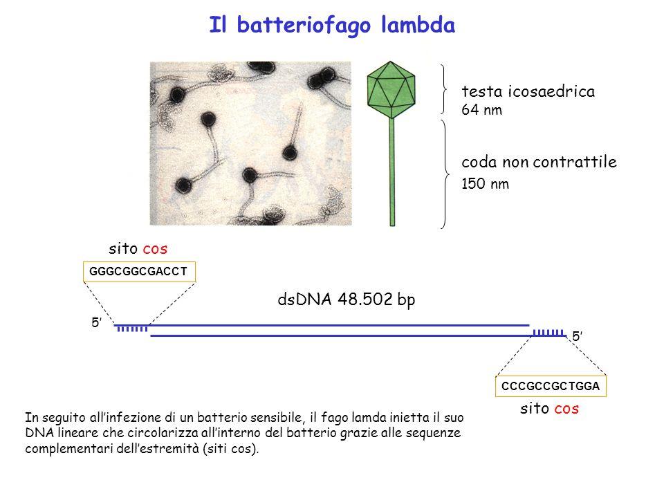 Il batteriofago lambda testa icosaedrica coda non contrattile 64 nm 150 nm GGGCGGCGACCT 5 5 CCCGCCGCTGGA sito cos dsDNA 48.502 bp In seguito allinfezi