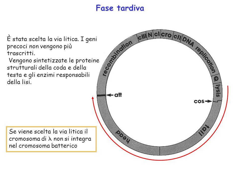 Fase tardiva È stata scelta la via litica. I geni precoci non vengono più trascritti. Vengono sintetizzate le proteine strutturali della coda e della