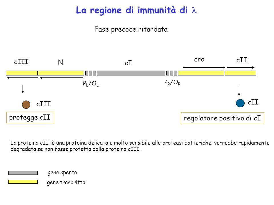 P R /O R P L /O L cro cI N cII cIII La regione di immunità di Fase precoce ritardata protegge cII cII regolatore positivo di cI gene trascritto gene s