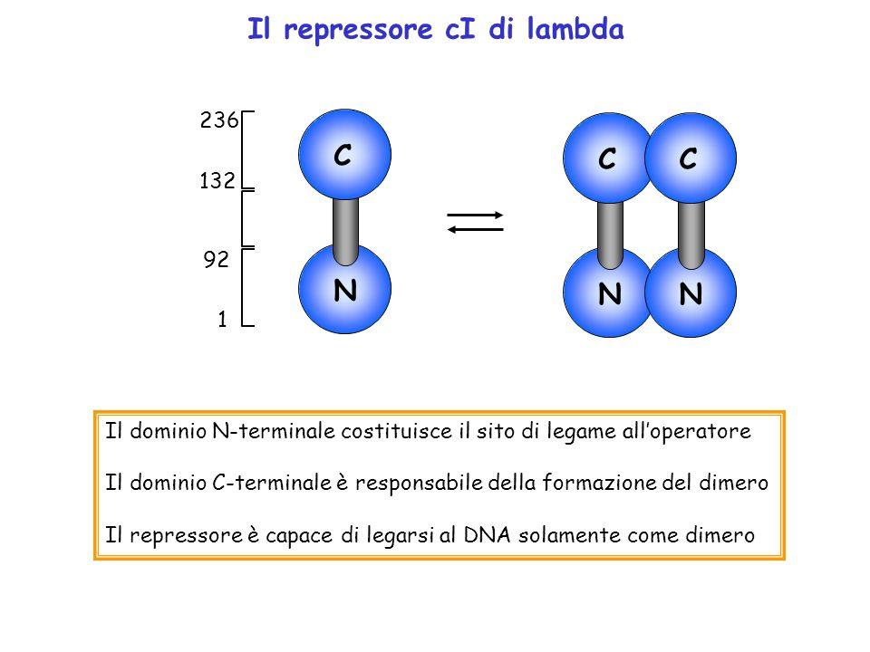 1 92 132 236 N C Il dominio N-terminale costituisce il sito di legame alloperatore Il dominio C-terminale è responsabile della formazione del dimero I