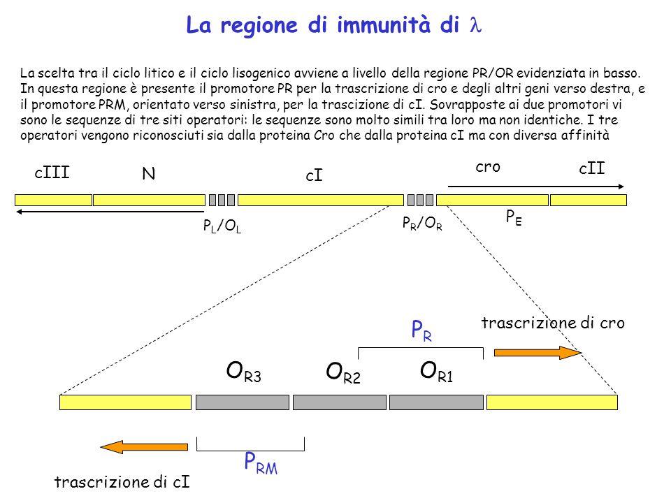Linterruttore genetico di O R1 O R2 O R3 trascrizione di cI trascrizione di cro P RM PRPR Il legame di un dimero di Cro in O R3 blocca la sintesi del repressore cI.