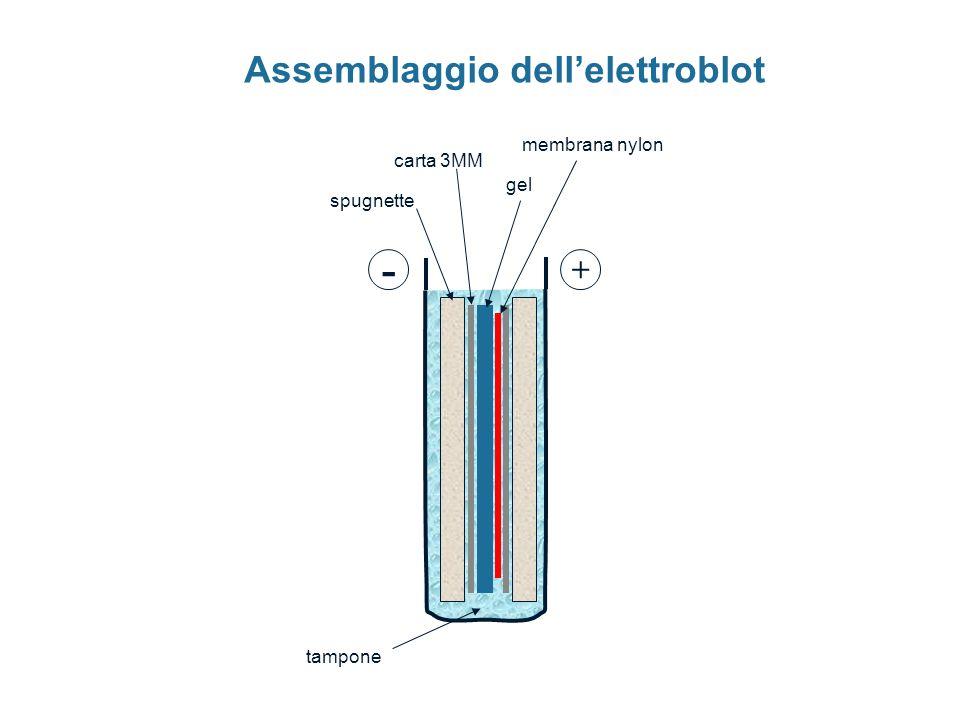 - + tampone carta 3MM spugnette gel membrana nylon Assemblaggio dellelettroblot