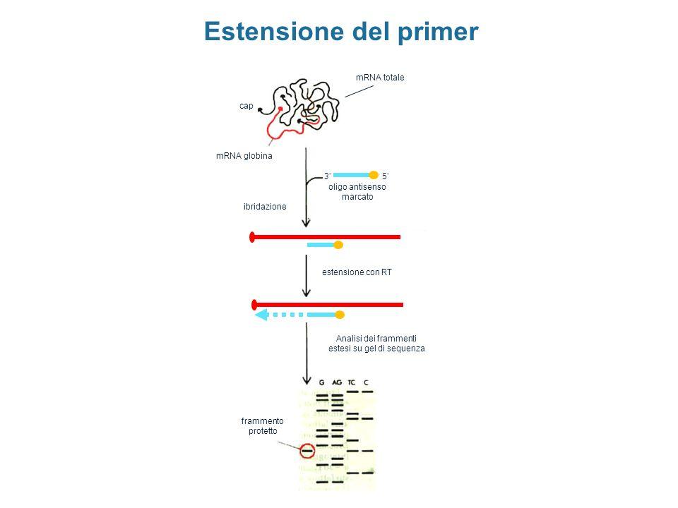 mRNA totale oligo antisenso marcato mRNA globina cap 53 ibridazione estensione con RT Analisi dei frammenti estesi su gel di sequenza frammento protet