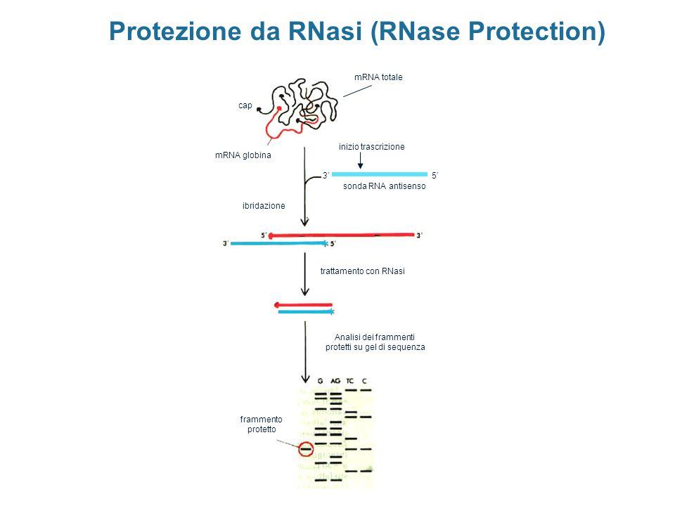 Protezione da RNasi (RNase Protection) mRNA totale sonda RNA antisenso mRNA globina cap 53 ibridazione trattamento con RNasi Analisi dei frammenti pro