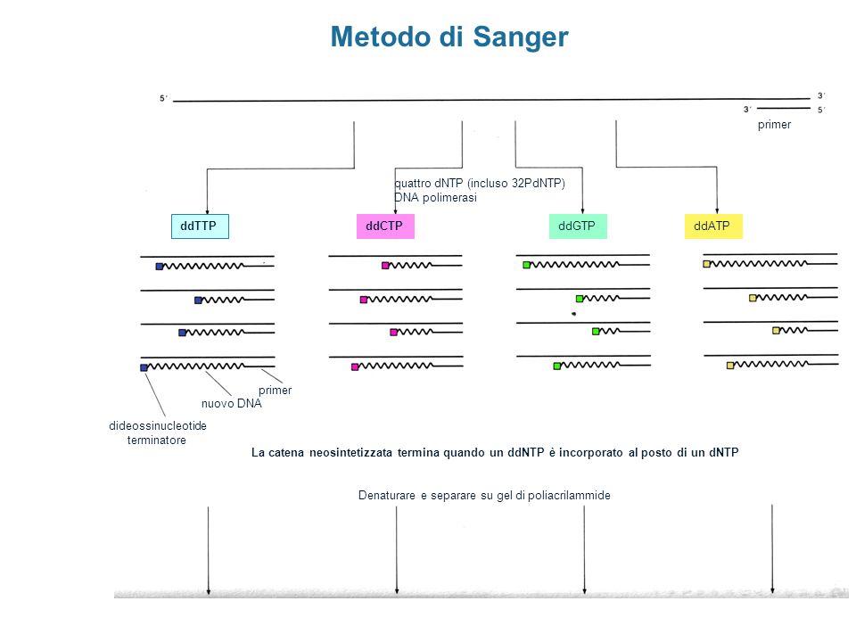 Metodo di Sanger primer nuovo DNA dideossinucleotide terminatore quattro dNTP (incluso 32PdNTP) DNA polimerasi La catena neosintetizzata termina quand