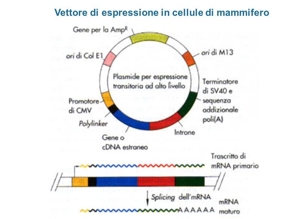 Vettore di espressione in cellule di mammifero