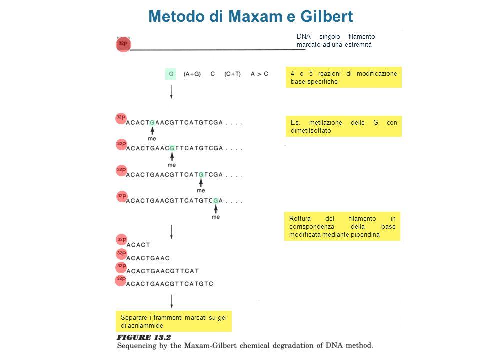Metodo di Maxam e Gilbert DNA singolo filamento marcato ad una estremità 4 o 5 reazioni di modificazione base-specifiche Rottura del filamento in corr