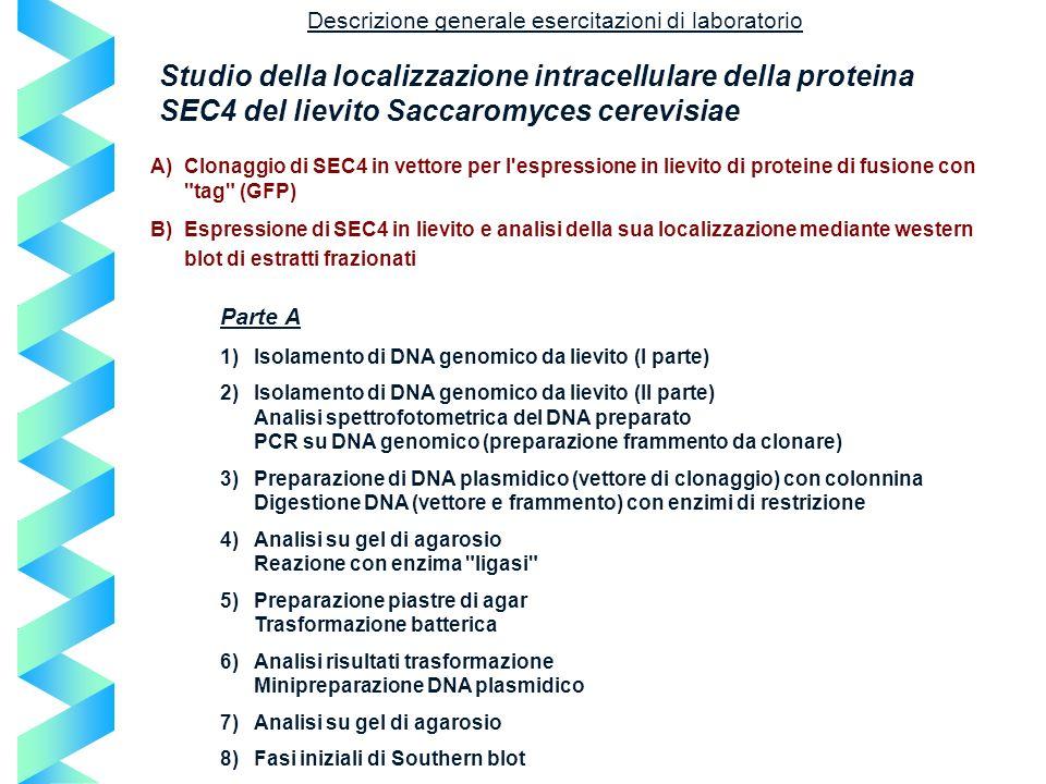 Descrizione generale esercitazioni di laboratorio Studio della localizzazione intracellulare della proteina SEC4 del lievito Saccaromyces cerevisiae A