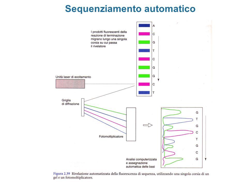 Protezione da RNasi (RNase Protection) mRNA totale sonda RNA antisenso mRNA globina cap 53 ibridazione trattamento con RNasi Analisi dei frammenti protetti su gel di sequenza frammento protetto inizio trascrizione