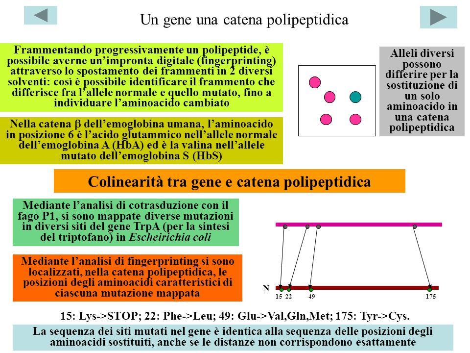 Un gene una catena polipeptidica Alleli diversi possono differire per la sostituzione di un solo aminoacido in una catena polipeptidica Frammentando p
