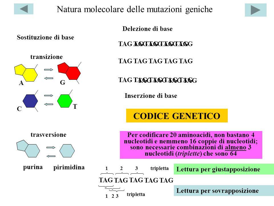 Natura molecolare delle mutazioni geniche Sostituzione di base A G T C transizione trasversione TAGAGTAG T T Delezione di base Inserzione di base TAG
