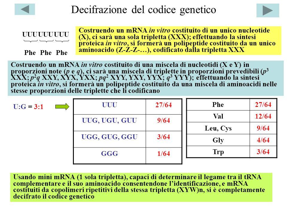 Decifrazione del codice genetico UUU27/64 UUG, UGU, GUU9/64 UGG, GUG, GGU3/64 GGG1/64 UUU Phe Costruendo un mRNA in vitro costituito di un unico nucle