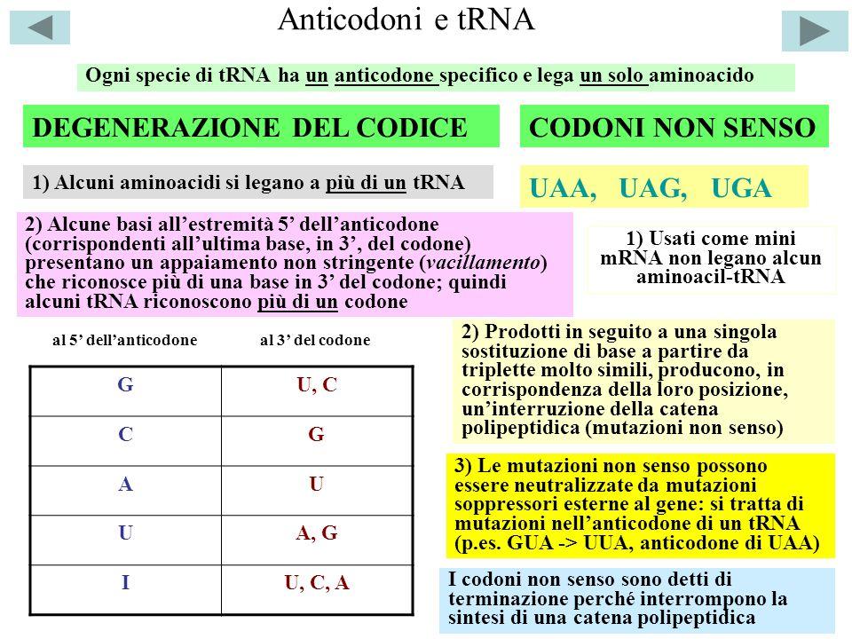 Anticodoni e tRNA Ogni specie di tRNA ha un anticodone specifico e lega un solo aminoacido DEGENERAZIONE DEL CODICE 1) Alcuni aminoacidi si legano a p