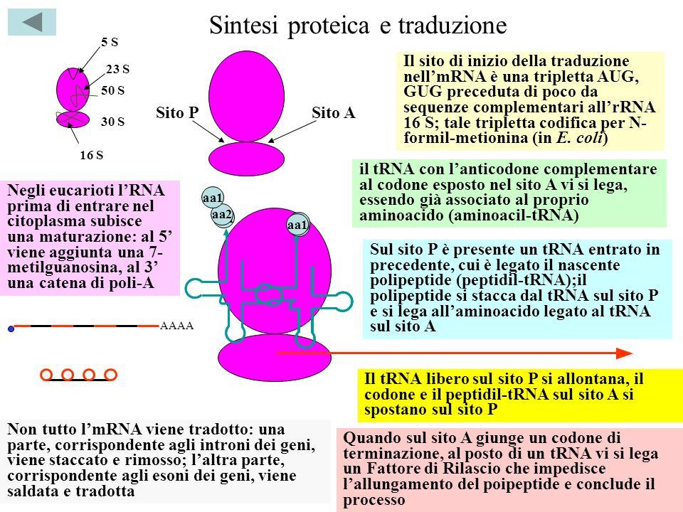 Sintesi proteica e traduzione 50 S 30 S 23 S 16 S 5 S Il sito di inizio della traduzione nellmRNA è una tripletta AUG, GUG preceduta di poco da sequen