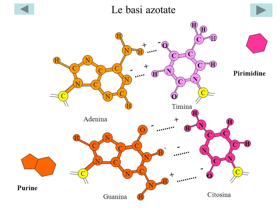 La struttura del DNA H H HO H H2C5 H2C5 O BASE …..